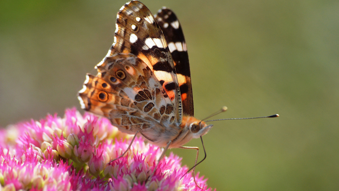 Butterfly in Nicholaston House Quiet Garden Summer 2016 (Lilian Wild)